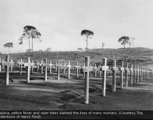 Fordlandia trees