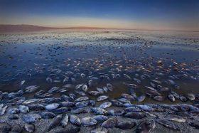 Salton Sea dead fish