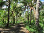 Coco Palms Resort coconut grove