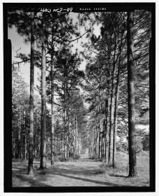 Pine allée at Overhills, 2005